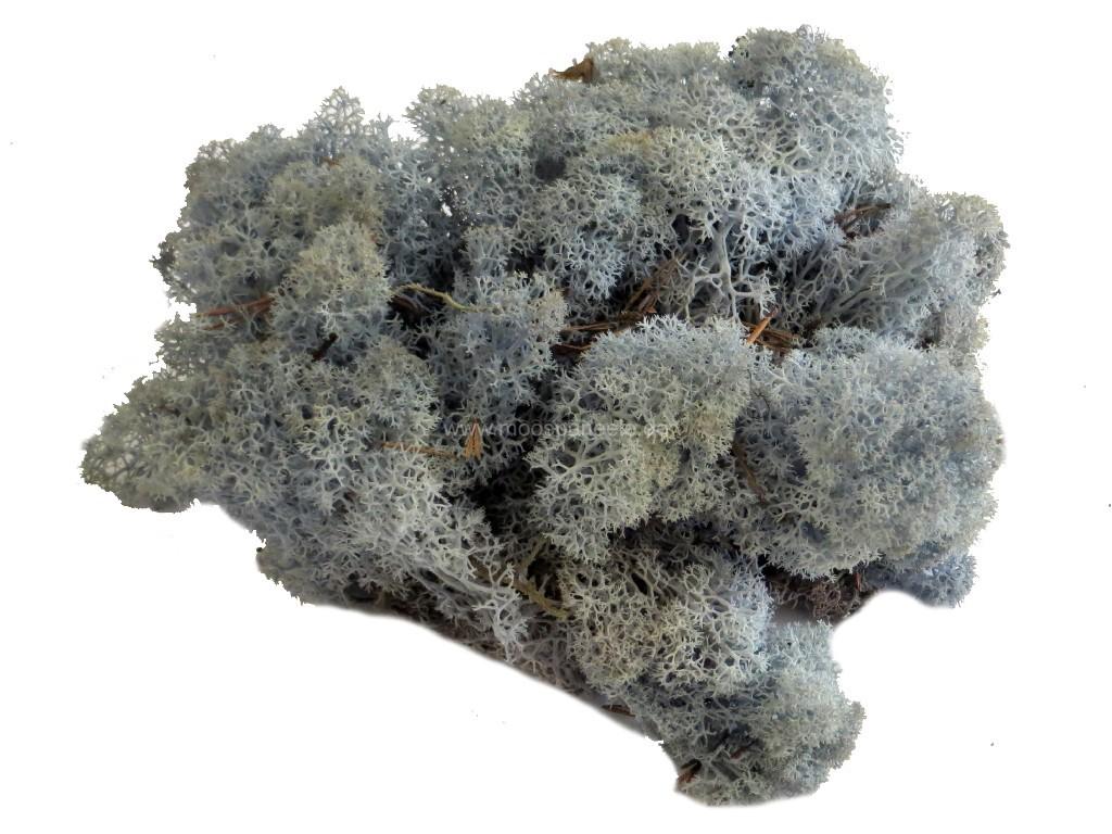 Islandmoos beziehungsweise Rentiermoos in der Farbe - Eisblau