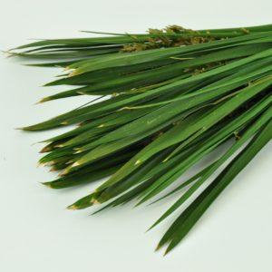 Stabilisierte Gräser - Papyrus - Farbe Grün